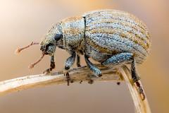 Sand Weevil (johnhallmen) Tags: macro insect beetle weevil coleoptera curculionidae canonmpe65 zerenestacker sonynex7 meikemk300