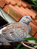 Dove (STEHOUWER AND RECIO) Tags: pigeon dove bird fauna avifauna vogel duif netherlands