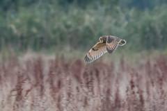 Short Eared Owl (PINNACLE PHOTO) Tags: seoshortearedowl inflight meadow hunting 2016 first flight raptor