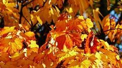 Lede puur herfst (Johnny Cooman) Tags: lede vlaanderen belgi bel belgi belgium  flhregion flemishregion flandre flandes flanders flandern belgique belgien belgia oostvlaanderen eastflanders blgica aaa panasonicdmcfz200 natuur boom baum arbre tree herfst autumn flora