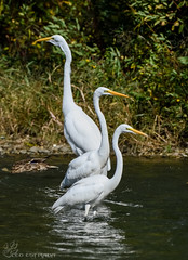 Great Egrets lined up for picture. (Estrada77) Tags: egrets wildlife nikon