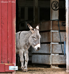 """Some people argue that there's no difference between a human and a donkey but it is unfair towards the donkey."" (Shannon Rose O'Shea) Tags: shannonroseoshea shannonosheawildlifephotography shannonoshea donkey bellehavenfarm loysville perrycounty pennsylvania nature wildlife animal barn canon canoneosrebelt6i canon100400mm14556lis canont6i canoneost6i canonrebelt6i eost6i eosrebelt6i rebelt6i t6i flickr wwwflickrcomphotosshannonroseoshea red"