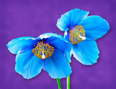 Meconopsis Painting (Linda Cochran) Tags: meconopsis bluepoppy himalayanbluepoppy flower closeup painting digitalpainting photopainting digitalart procreate unning effect