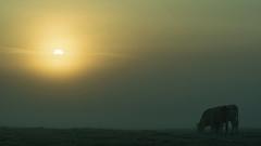 20161010-09_Hazy Sun_Dawn Mists + Cattle (gary.hadden) Tags: rugby warwickshire littellawford kingsnewnham middleengland landscape dawn sunrise mist softlight goldenhour cow cattle bullock cows