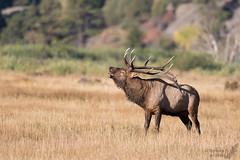 Bugling (Squirrel Girl cbk) Tags: 2016 cervuscanadensis colorado september antlers bugling bullelk rack estespark unitedstates us rockymountainnationalpark rmnp explore