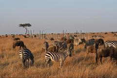10078099 (wolfgangkaehler) Tags: 2016africa african eastafrica eastafrican kenya kenyan masaimara masaimarakenya masaimaranationalreserve wildlife grassland grasslands migration migrating antelope antelopes gnu wildebeestmigration wildebeest wildebeestherd wildebeests zebras plainszebrasequusquagga burchellszebra burchellszebraequusquagga burchellszebras