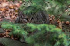 WildeKat2-6569 (Esther van Rooijen) Tags: bayerischerwald animals wildlife