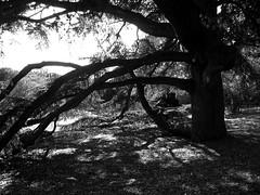 Under the old Pine (pilechko) Tags: morrisarboretum chestnuthill philadelphia pennsylvania blackandwhite monochrome sunlight light shade shadows tree pine