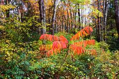 Orange Outlier (agasfer) Tags: 2016 northcarolina panthertownvalley appalachia hiking autumn colors foliage pentax k3 topaz adjust5 smcpentaxda12435mmal