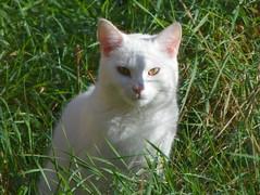 Ghostcat (Peter O'Connor aka anemoneprojectors) Tags: 2016 animal cat domesticcat england felidae feline felis feliscatus felissilvestris felissilvestriscatus garden hertfordshire kodak kodakeasysharez981 mammal pet sandridge z981