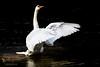 The Conductor (ABPhotosUK) Tags: anatidae animals birds canon cygnusolor devon ef100400mmisii eos7dmarkii effects lopwelldamnaturereserve lowkey muteswan nocrop rivertavy swlakestrust swansducksandgeese wildlife