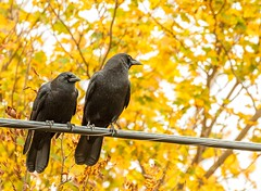 On the Lookout (Karen_Chappell) Tags: bird birds crow yellow black nature wire trees leaves autumn fall newfoundland nfld canada