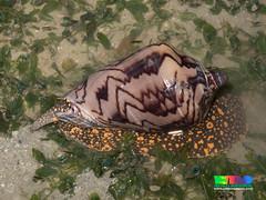 Noble volute (Cymbiola nobilis) (wildsingapore) Tags: changi carpark7 cymbiola nobilis volutidae mollusca gastropoda island singapore marine coastal intertidal shore seashore marinelife wildsingapore