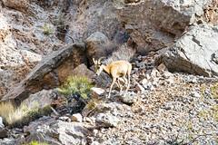 047-VOF160131_46867 (LDELD) Tags: nevada desert rugged dry harsh wild valleyoffire bighornsheep animal wildlife rocky