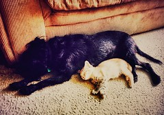 Fighting Like Cats and Dogs (quietred13) Tags: bestfriends friends catsanddogs snooze napping naptime sleeping dogs cats