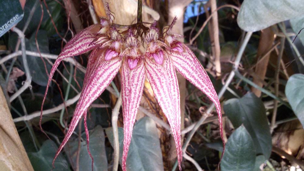 Bulbophyllum Ann Buckleberry- MNHN