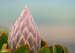 Pink Crown Protea - Haleakala, Maui (Barra1man) Tags: pinkcrownprotea protea crownprotea crown flower tropical tropicalflower pink upcountry mounthaleakala haleakala lavenderfarm garden maui hawaii unitedstates olympus olympusem1 iso800 lens300mm