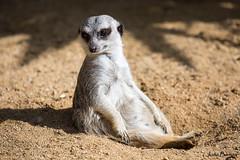 Suricata suricatta (JOAO DE BARROS) Tags: suricata animal zoo joo barros
