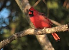 Northern Cardinal (hennessy.barb) Tags: cardinal northerncardinal red bird perched cardinaliscardinalis