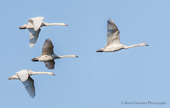 Mute Swans in flight (Kevin James54) Tags: cygnusolor lakegalena muteswan nikond500 peacevalleypark tamron150600mm animals avian bird kevingianniniphotocom swan