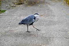 heron (moniquevandermeulen) Tags: birds street walking nature outside outdoor sony a58 heron animal
