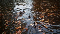Impression (lucamorgese) Tags: duck ducks proportion proportions duckofmallard trento pound italy morning mood sad quietness calm circle blur fade autumn feel cold feeling peace bird birdwatching leaves brown fallen emptiness nothing contemplation thoughts existence life water crisp air crispair