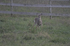 _MG_1858 (thinktank8326) Tags: deer whitetaileddeer fawn doe babyanimal babydeer