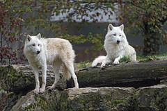 Two arctic wolves posing (Tambako the Jaguar) Tags: two together posing rock stone wood log wolf canine canid white actic polar parcanimalier saintecroix park parc rhodes zoo france nikon d5