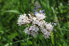 Flowers on Mount Rainier Hike (Bonnie Ott) Tags: variety abundance mountrainiernationalpark washingtonstate