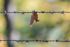 Autumn Leaf in Conflict (CJH Natural) Tags: nature wild nikon d750 telephoto 300mm pf f4 300mmf4 300f4 nikkor pfedvr leaf conflict barbedwire barbed wire bokeh autumn herbst