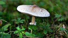 Herbst im Wald // Autumn in the forest (seyf\ART) Tags: macro nahaufnahmen flowers blten herbst autumn mushroom