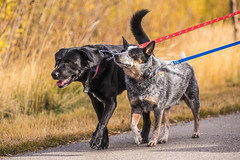 Jack and Dually (calgaryactivek9s) Tags: dogs dog pooch pooches dogwalk dogwalker heeler blacklab labradorretriever retriever