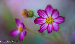 stars family (frederic.gombert) Tags: flower flowers light sun cosmos sunlight nikon d810 macro color colors red pink green grey