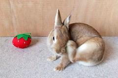 Ichigo san 466 (mensore) Tags:  rabbit bunny netherland dwarf brown cute pet family ichigo