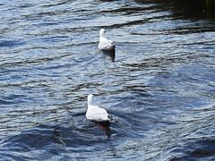 P1110280-silver gull-A (elisabethgleave) Tags: birds piemanheads silvergull