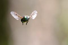 Diptera (Pablo Leautaud.) Tags: pex parqueecologicoxochimilco parqueecologico parque xochimilco ciudaddemexico df mexico naturaleza nature pleautaud suelodeconservacion cdmx insecto insect