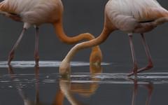 Floreana Flamingos (puliarf) Tags: galápagos galápagosislands flamingo phoenicopterusruber floreana nationalgeographic lindbladtour pink reflection endeavor