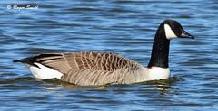Canada Goose (wok smuggler) Tags: canadagoose brantacanadensis goose bird aquabird water outdoor sigma150500 nikond7100 animal