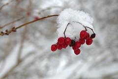Punased marjad (Jaan Keinaste) Tags: pentax k3 pentaxk3 eesti estonia loodus nature talv v winter lumi snow punane red mari marjad lodjapuu viburnumopulus harilik