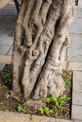 Tree trunk in the city of Rabat, Malta (thorrisig) Tags: 02112016 malta rabat tr thorrisig thorfinnursigurgeirsson thorri orrisig thorfinnur orfinnur orri orfinnursigurgeirsson sigurgeirsson sigurgeirssonorfinnur dorres tree trees treetrunk closeupofnature