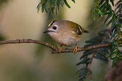 nosey little Goldcrest (skees499 ) Tags: highiso d500 nikon goldcrest goudhaan keesmolenaar close bird birding vogel natuur nature ngc netherlands alblasserwaard regulusregulus nederland