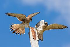 Landing Practice (M Hooper) Tags: kestrel nankeenkestrel landing raptor birdofprey birdinflight wildlife wildlifephotography nature