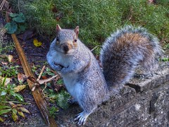 Who Me? (Belinda Fewings (3 million views. Thank You)) Tags: sitting haunches gardens greysquirrel pretty small animal friendly wildlife rspb nature bournemouthgardens bournemouth autumn bbcautumnwatch bbcspringwatch squirrel november