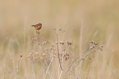 Stonechat (PIX SW) Tags: bird stonechat