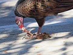 Turkey Vulture 03-20161121 (Kenneth Cole Schneider) Tags: florida miramar backyardbirds