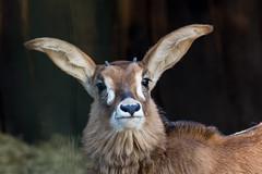 groe Ohren (grasso.gino) Tags: tiere animals natur nature zoo dortmund nikon d5200 antilope antelope roanantelope pferdeantilope ohren ohr ear