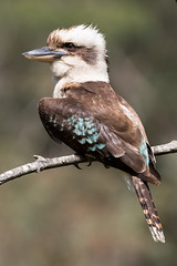 Laughing Kookaburra 164 9912 (Ken Griffiths - Naturally wild Photography) Tags: bird kookaburra australia