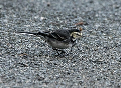 Pied Wagtail (6) (grahamh1651) Tags: helstonboatinglake birds gulls ducks geese waterbirds swans