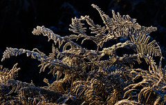 Frosted Bracken (paulinuk99999 (really busy at present)) Tags: paulinuk99999 london bushy park frost bracken november 2016 zeiss sal135f18za winter nature