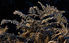 Frosted Bracken (paulinuk99999 - tripods are for wimps :)) Tags: paulinuk99999 london bushy park frost bracken november 2016 zeiss sal135f18za winter nature